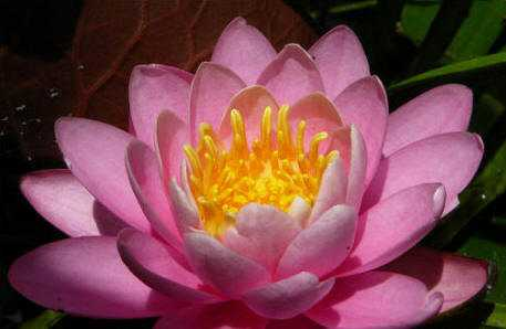 Ornamental Water Lily