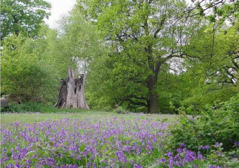 Weald Country Park - Blasted Oak surrounded by bluebells